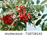 Red Ashberry On A Background O...
