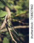 Small photo of Aeshnidae (hawker) dragonfly on a branch