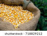 raw corn seed in sack at local... | Shutterstock . vector #718829212