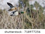 pair of mallard ducks flying... | Shutterstock . vector #718977256