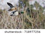 Pair Of Mallard Ducks Flying...