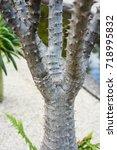 pachypodium plant tree palm... | Shutterstock . vector #718995832