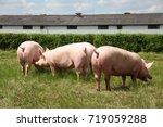 Little Growing Piglets Grazing...