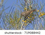 Small photo of Chestnut-rumped Thornbill (Acanthiza uropygialis)