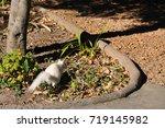 Cute Albino Squirrel Playing