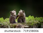 two young brown bear cub in the ... | Shutterstock . vector #719158006