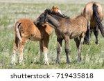 wild mustang foals nuzzling in... | Shutterstock . vector #719435818