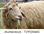 funny sheep  portrait of a...