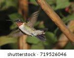 male ruby throated hummingbird  ... | Shutterstock . vector #719526046