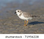 Endangered Piping Plover ...