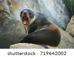 new zealand fur seal sitting on ... | Shutterstock . vector #719642002