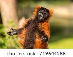 A Red Ruffed Lemur In The Artis ...