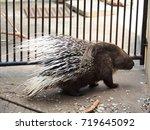 african tortrix porcupine | Shutterstock . vector #719645092