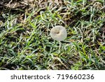 Small photo of A white mushroom (Agaricaceae) on green grass with dew in the nature