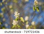 apple tree blossoms   Shutterstock . vector #719721436