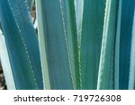 main ribs of agave. | Shutterstock . vector #719726308
