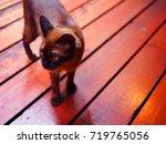 Dark Brown Fur Siamese Cat...