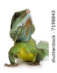 bearded dragon in front of a...   Shutterstock . vector #7198843