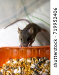 A Small Gray Mouse With A Long...