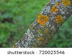 Yellow Lichen On A Tree In The...