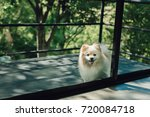 Pomeranian Dog Outside