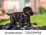 portrait of a schnauzer puppy...   Shutterstock . vector #720239956