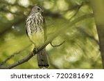 Small photo of Shikra (Accipiter badius badius) bird shitting in tree branch