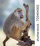 young olive baboon  papio... | Shutterstock . vector #720404302