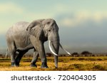 Stock photo african elephant masai mara national park kenya wildlife scene in nature habitat 720404305