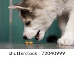 Stock photo puppy of siberian husky eating pet food 72040999