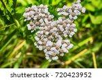 macro photo of a white yarrow... | Shutterstock . vector #720423952