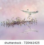 Snowy Egret In Flight Over Lake ...
