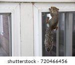 Squirrel Holding On To Window...