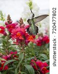Small photo of Ruby Throated Hummingbird Fluttering Near Red Snap Dragons