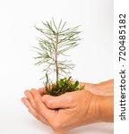pine tree seedlings. planting...   Shutterstock . vector #720485182