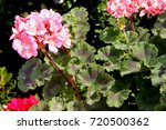 Pelargonium Zonale 'moonlight...