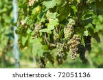 An example of diseased or ill grape - stock photo