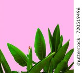 plant on pink.  tropical flower ... | Shutterstock . vector #720519496