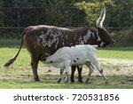 a suckling calf | Shutterstock . vector #720531856