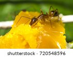 ants are eating yolks ants are...   Shutterstock . vector #720548596