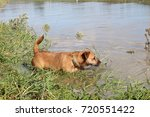 Dog Testing The Water   Terrier