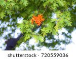 first group of leaves changed... | Shutterstock . vector #720559036