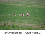 Family Of Pronghorn
