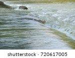 saltwater crocodile  | Shutterstock . vector #720617005