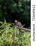 common marmoset | Shutterstock . vector #720640612