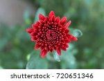 little fall mum | Shutterstock . vector #720651346