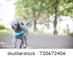 walking for a dog  lady ...   Shutterstock . vector #720672406