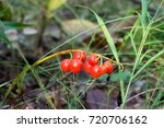 Red Poisinous Lily Of The...