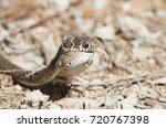 snake eating lizard   detail | Shutterstock . vector #720767398