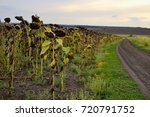 ready ripe withered sunflowers... | Shutterstock . vector #720791752